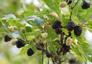 Шелковица белая и черная - полезные для здоровья свойства